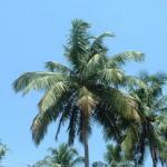 goa-palm