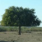 kamel.träd