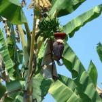 kodal-bananblomma