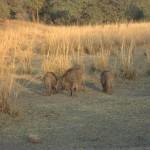 tigerreserv-vildsvin